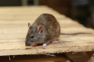 Rodent Control, Pest Control in Barnehurst, DA7. Call Now 020 8166 9746