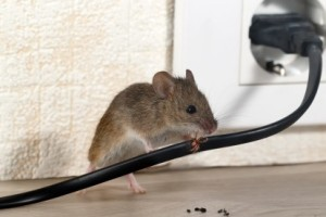 Mice Control, Pest Control in Barnehurst, DA7. Call Now 020 8166 9746